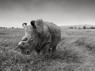 Desperate Male White Rhino Joins Tinder in Effort to Mate