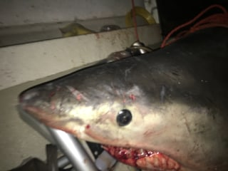 Great White Shark Leaps Into Australia Fisherman's Boat