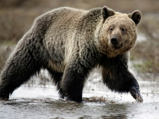 Grizzly Conclusion: Feds Remove Bears From Protected List