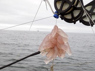 Strange Gelatinous Sea Creatures Invade Calif. Coast