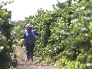 California's Farms Face Serious Labor Shortage