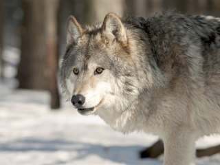 Court Rules Gray Wolves Remain Endangered in Western Great Lakes