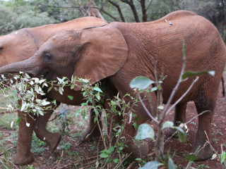 Kenyan wildlife nursery gives baby elephants a second chance