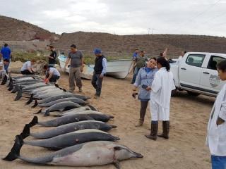Dozens of dolphins stranded in Mexico's Baja California Sur
