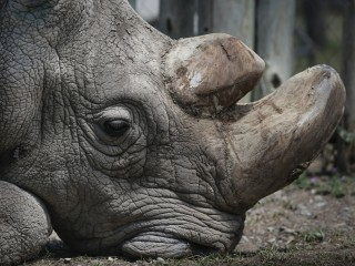 Sudan, the world's last male northern white rhino, dies