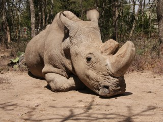 Why rhino's sad demise may not mean extinction for his species