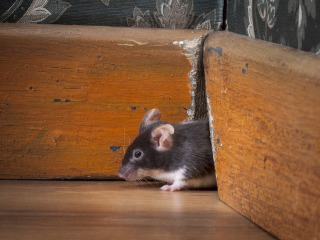 New York City mice are loaded with bacteria, superbug germs