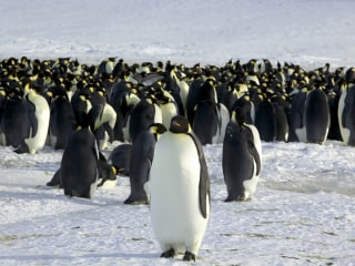 How spying on penguins just might save them
