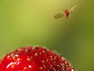 3 easy ways to get rid of fruit flies