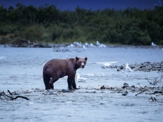 Interior Dept. moves to allow Alaska bear hunting with doughnuts, bacon