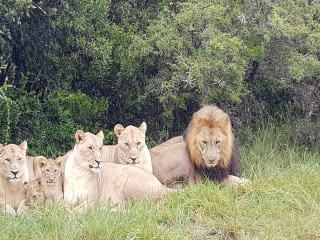 Rhino poachers eaten by lions on South African game reserve