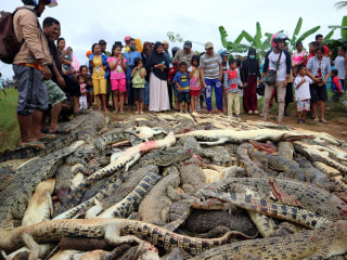 Mob slaughters 300 crocodiles in Indonesia following death of local man