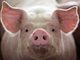 Lab-grown lungs successfully transplanted into pigs, raising hopes for human use
