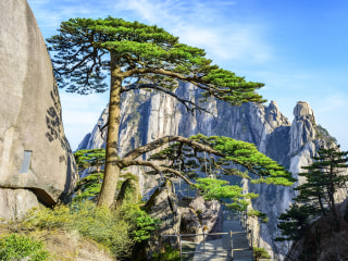 China's most famous tree is in danger of being 'loved to death'