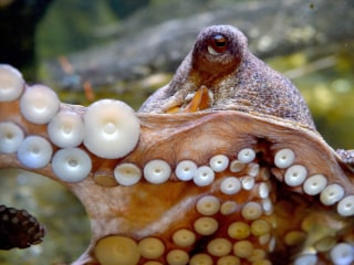 Scientists give Molly to octopuses, and yeah, it works