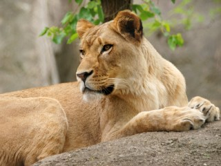 Lioness kills father of her three cubs at Indianapolis zoo
