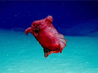 Rarely seen 'headless chicken monster' — actually a sea cucumber — spotted in Southern Ocean