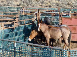 Judge blocks controversial plan to sterilize wild horses in Oregon