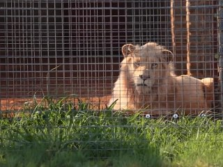 Rare white lion named Mufasa faces auction block in South Africa