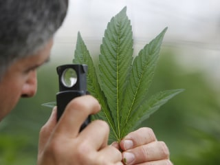 Scientists search for marijuana's holy grail — consistent highs