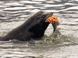 Congress approves bill allowing the killing of sea lions... to protect salmon