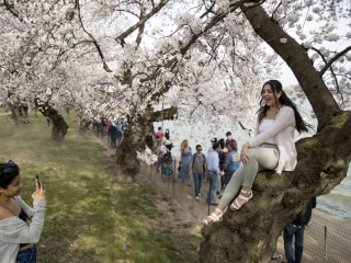 Peak bloom has arrived for D.C. cherry blossoms