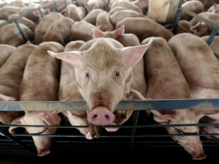 In radical experiment, scientists restore activity in pigs' brains hours after slaughter