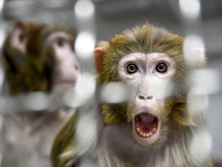 Chinese scientists insert human brain gene into monkeys, spark ethical debate
