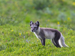 Arctic fox treks more than 2,700 miles in four months