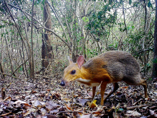 Tiny deer-like species spotted for first time in decades