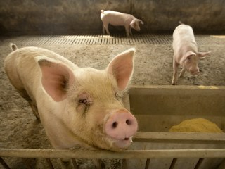 Chinese pig farm jams drone of crooks spreading African swine fever