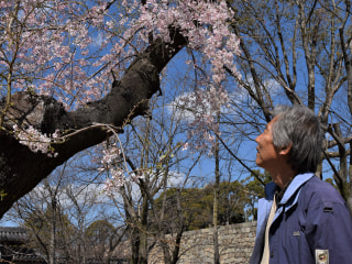Tide of tourists admiring Japan's cherry blossoms turns to trickle after coronavirus