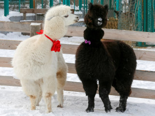 Siberian zoo sees animal baby boom during lockdown