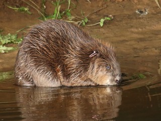 Hunted to extinction, England's first wild beavers in 400 years allowed to stay