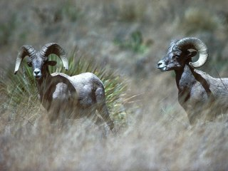 Helicopter crash kills 3 Texas wildlife workers during survey of bighorn sheep