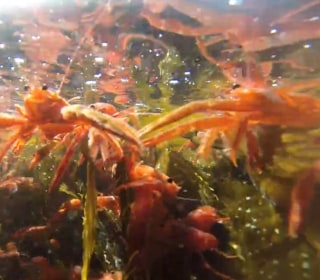 Pelagic Red Crabs Head North