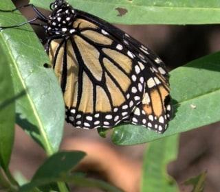Police Seek Butterfly Bandit