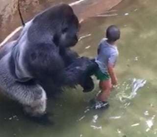 Killing of Gorilla to Save Boy Sparks Outrage