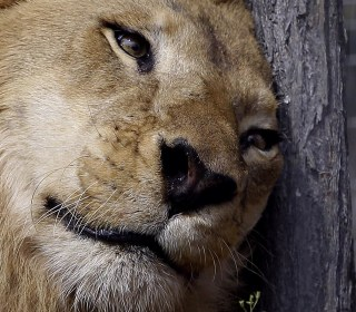 Rescued Circus Lions Take First Steps of Freedom in Africa