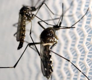 Should We Really Fear Genetically Modified Zika Mosquitoes?