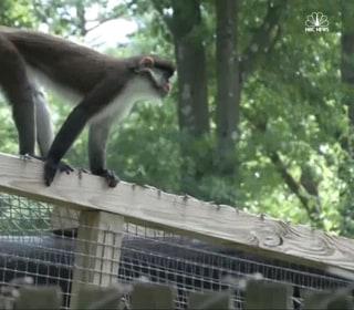 Monkey on the Loose at Massachusetts Zoo