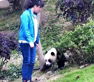 See Hapless Giant Panda Take a Tumble From Tree