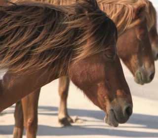 There's A Struggle To Save These Assateague Island Horses From Rising Tides
