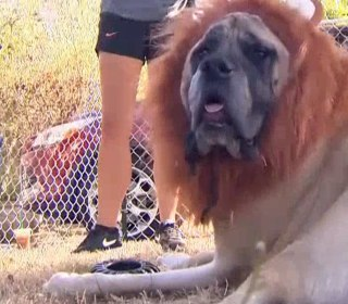 'Lion' Dog Is the Animal You Need to See Today