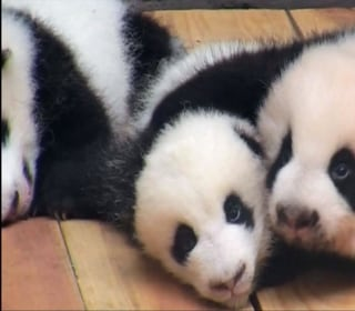 Watch Giant Panda Cubs Sunbathing, and Falling Over