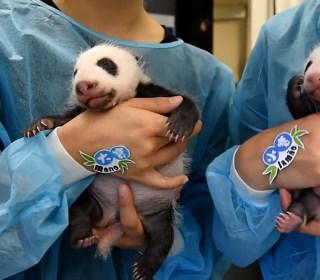 See Baby Panda Twins Opening Their Eyes