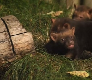 See Rare Bush Dog Pups Come Out to Play