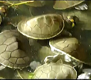 See Thousands of Baby Turtles Scramble to the Water