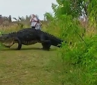 Giant Gator Takes A Stroll In Florida
