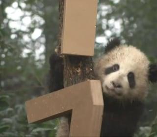 Eight Cute Panda Cubs Send Their Greetings for the Lunar New Year